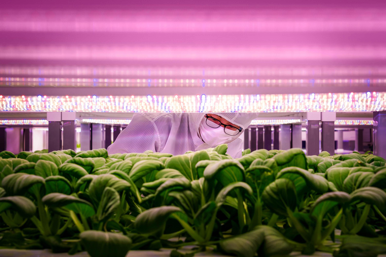 VertiVegies worker inspects plants